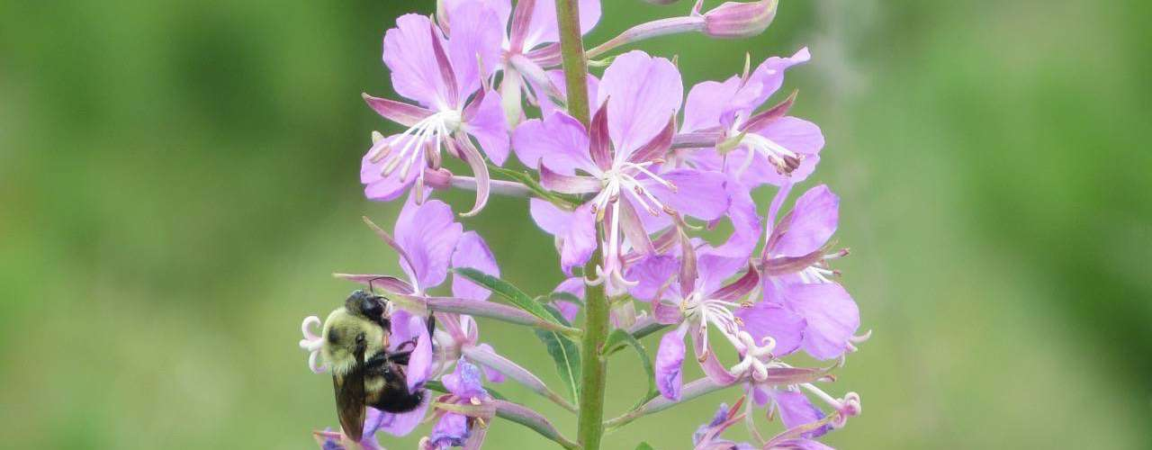 Minnesota bee; sustainable practices save bees.